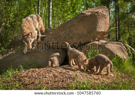 Grey Wolf (Canis lupus) Mother with Pups at Den - captive animals