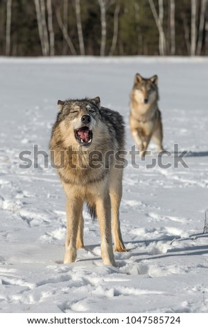 Grey Wolf (Canis lupus) Mouth Open Another in Background - captive animals