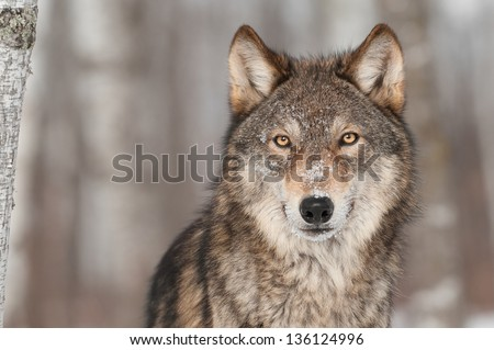 stock-photo-grey-wolf-canis-lupus-portra