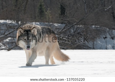 Grey Wolf (Canis lupus) Prowls on Riverbed - captive animal - stock photo
