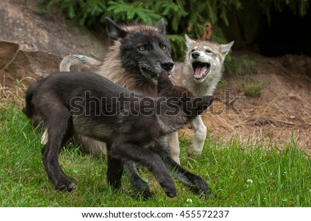 Grey Wolf (Canis lupus) Pups Cavort Around Juvenile - captive animals