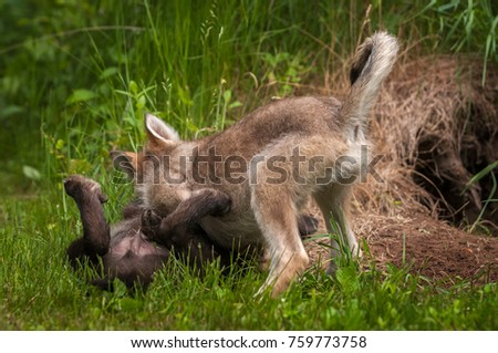 Grey Wolf (Canis lupus) Pups Wrestling - captive animals