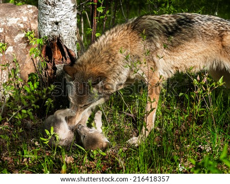 Grey Wolf (Canis lupus) Rolls Pup - captive animals