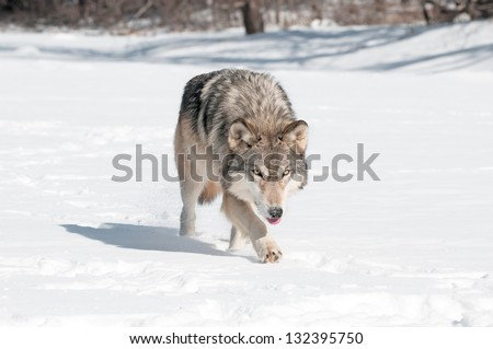 Grey Wolf (Canis lupus) Runs Along Snowy Riverbed with Tongue Out - captive animal