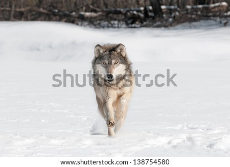 Grey Wolf (Canis lupus) Runs Directly at Viewer - captive animal - stock photo