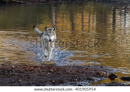 Grey Wolf (Canis lupus) Runs Forward - captive animal