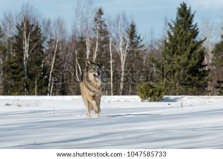 Grey Wolf (Canis lupus) Runs Forward Through Snowy Field - captive animal