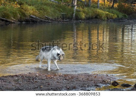 Grey Wolf (Canis lupus) Shaking Off Water - captive animal