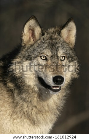 Grey wolf, Canis lupus, single mammal head shot, captive                    - stock photo