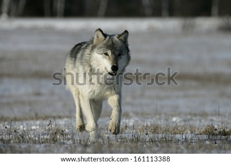 Grey wolf, Canis lupus, single mammal running on snow, captive,