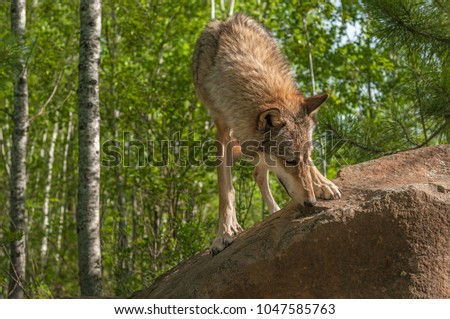 Grey Wolf (Canis lupus) Sniffs at Rock - captive animal