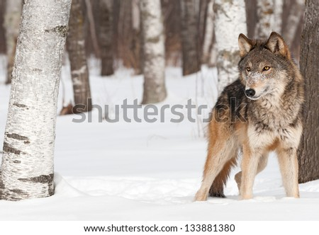 Grey Wolf (Canis lupus) Stands Between Trees - captive animal - stock photo