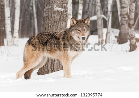 Grey Wolf (Canis lupus) Stands in Front of Tree - captive animal - stock photo