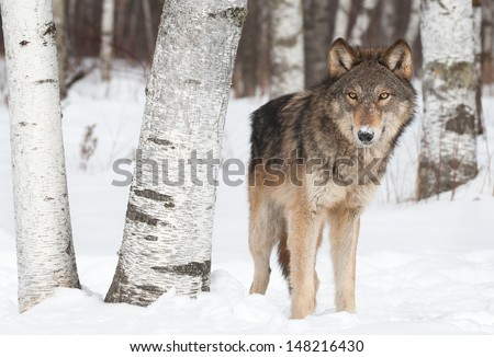Grey Wolf (Canis lupus) Stands Near Birch Trees - captive animal - stock photo