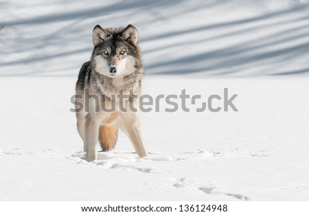 Grey Wolf (Canis lupus) Stare - captive animal - stock photo