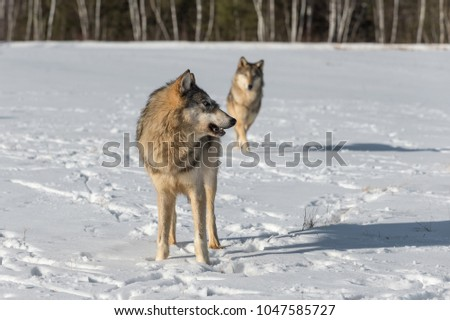 Grey Wolf (Canis lupus) Turns Another in Background - captive animals