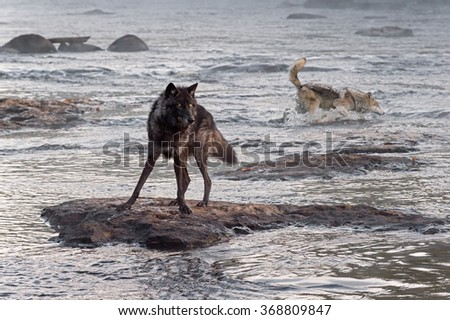 Grey Wolf (Canis lupus) Watches While Another Splashes Behind - captive animals