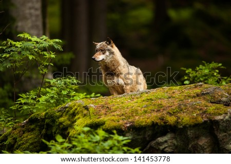 Grey Wolf (Canis lupus) Wolf at the forest - stock photo