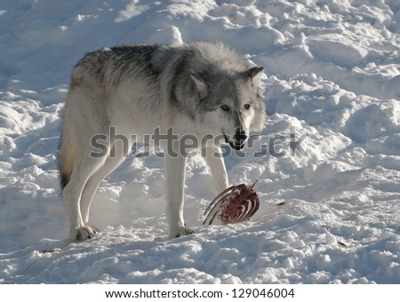 Grey wolf eating from a carcass in Yellowstone National Park - stock photo