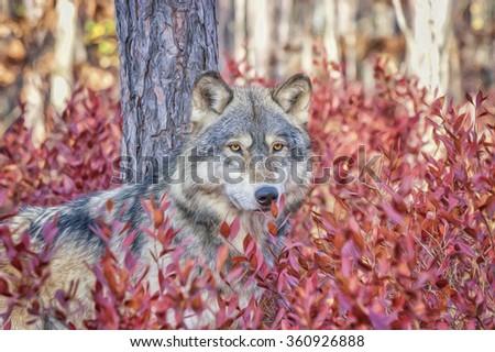 Grey wolf in North Dakota USA digital oil painting - stock photo