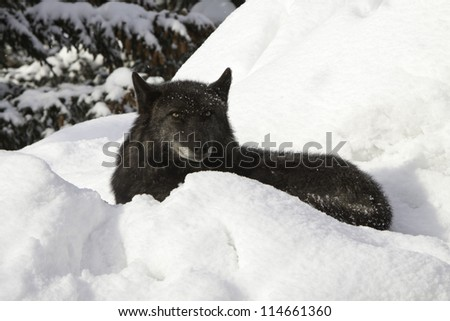 Grey Wolf in the snow - stock photo