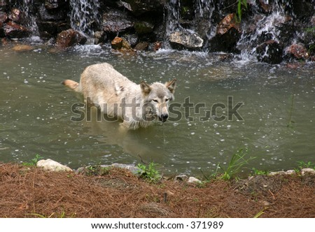 Grey Wolf in Water
