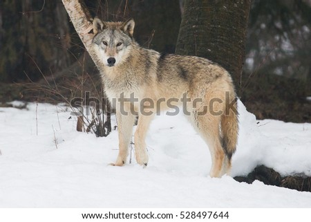 grey wolf in winter