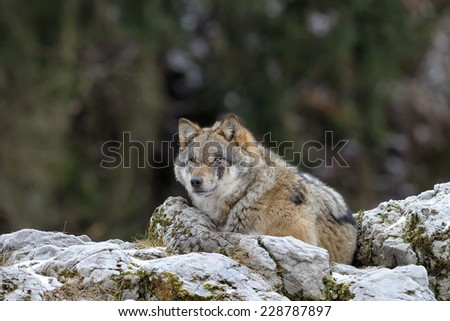 Grey wolf lying on top of a rock.