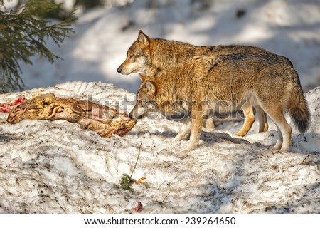 Grey wolf on the snow background - stock photo