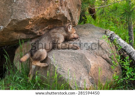 Grey Wolf Pup (Canis lupus) Clambers up Rock - captive animal - stock photo