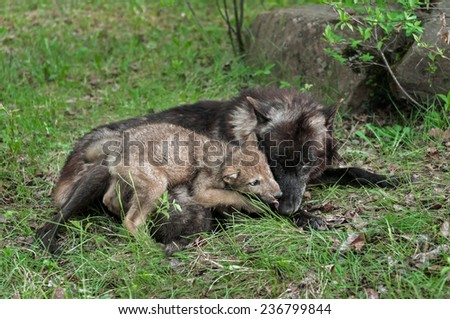 Grey Wolf Pup (Canis lupus) Licks Mother's Mouth - captive animal - stock photo