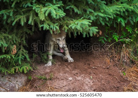 Grey Wolf Pup (Canis lupus) Under Pine - captive animals