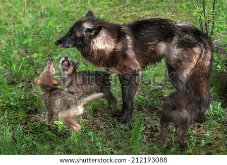 Grey Wolf Pups (Canis lupus) Beg Mother - captive animals - stock photo