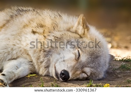 Grey wolf sleeping in the shade to escape the autumn sun.