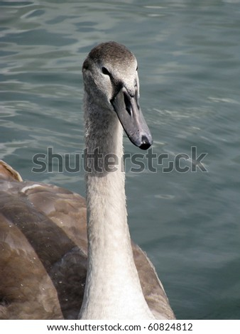 Grey young swan - stock photo
