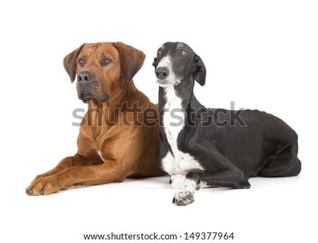 greyhound and rhodesian ridgeback isolated on white background - stock photo