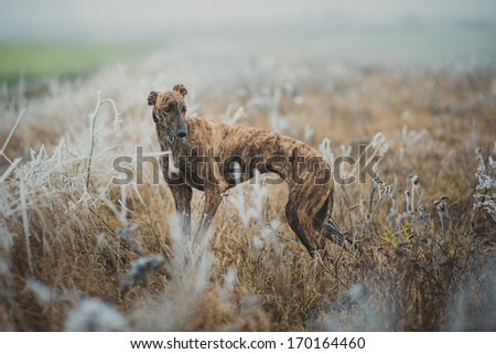 Greyhound breed dog while hunting outdoors - stock photo