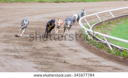 Greyhound dogs racing on sand track - stock photo