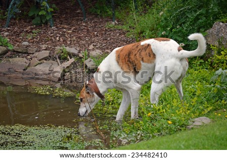 Greyhound drinking from a pond - stock photo