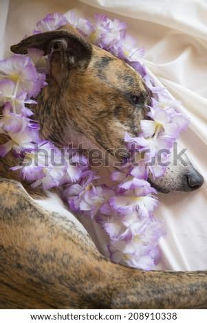 Greyhound eating pizza - stock photo