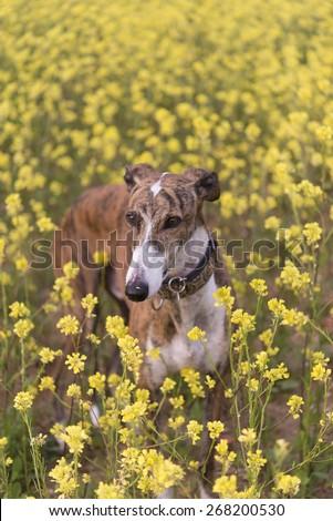 Greyhound Happy - stock photo