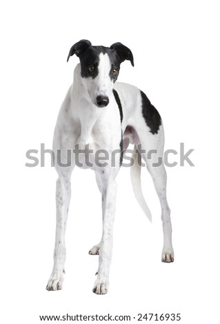 Greyhound in front of a white background - stock photo