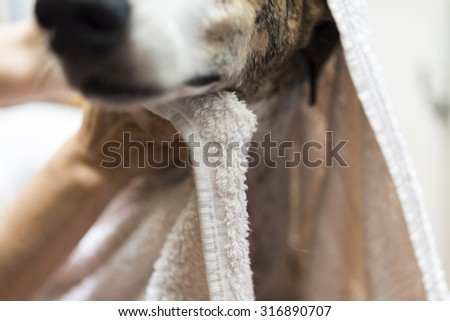 Greyhound is taking a shower at home