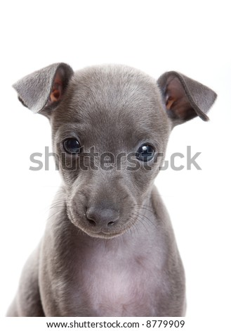 Greyhound on white background - stock photo