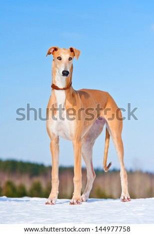 Greyhound standing in winter - stock photo