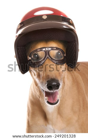 Greyhound wearing a crash helmet cutout - stock photo