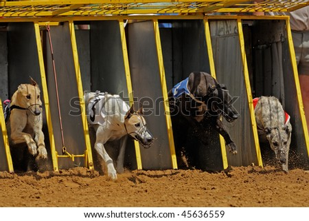 Greyhounds emerging from the starting cages during a race - stock photo