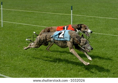 Greyhounds racing on grass track in the Netherlands