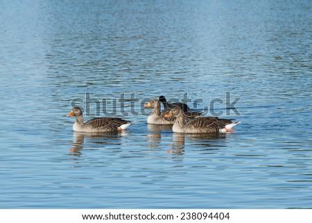Greylag Geese. Anser anser. Coot. Fulica atra. Reserve Natural Lagoons de Villafafila, Zamora. - stock photo