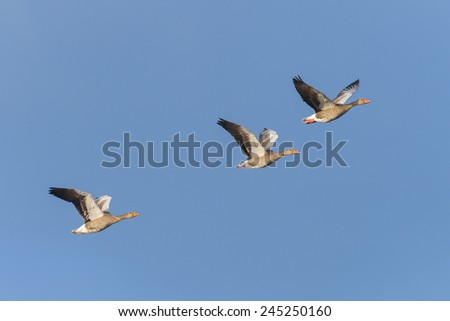 Greylag geese (Anser anser), Germany, Europe - stock photo